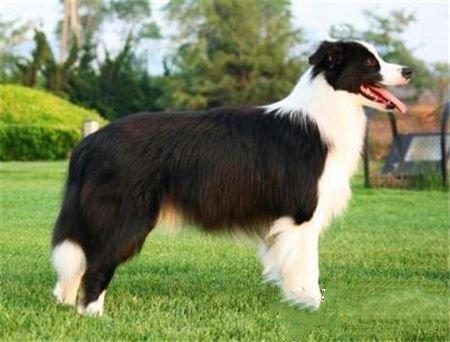 两个月的牧羊犬吃什么